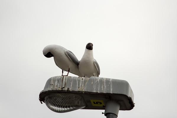 Black-headed gull - X2