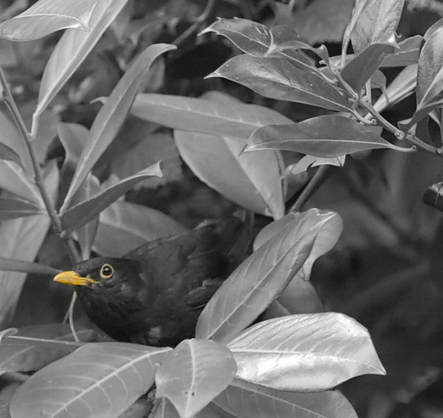Hiding.<br /> I removed all colour but the orange of beak and eye.