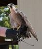 Peregrine Falcon, 240 MPH flyer