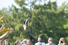 Mississippi Kite seconds after release.  This looks like one of my bad tosses of an RC plane...but this guy managed to get straightened out and flew off.