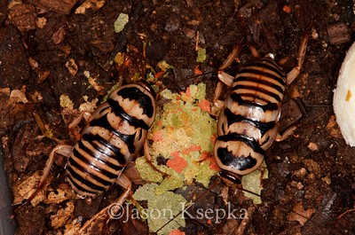 Dorylaea orini, Orin's Roach 2016-04-13   2