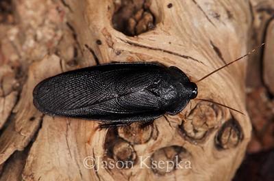 Corydidarum tarsalis, male; Hamilton, New Jersey 2015-10-21   1