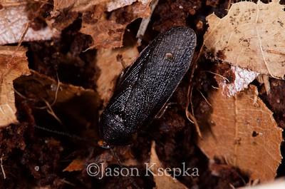 Corydidarum pygmaea, Pill Cockroach, male 2015-03-30   2