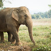 "Unlike some of the elephants, Pang Suai was in no hurry to get to the river and have a bath. She spent a while grazing in the field in the morning sun before catching up with her friends and enjoying a good wallow in the mud - Feb 2013<br /> <br /> All print proceeds go to BLES, who care for all these rescued elephants.<br />  <a href=""http://www.blesele.org"">http://www.blesele.org</a>"