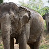 "After a mud bath, Pang Noi and Pang Suai head off into the forest in search of treats. With rivers, lakes, hills, fields and forests, BLES is such diverse area and the plants and trees that grow there are equally diverse. It's one big buffet for the elephants - Feb 2013<br /> <br /> All print proceeds go to BLES, who care for all these rescued elephants.<br />  <a href=""http://www.blesele.org"">http://www.blesele.org</a>"
