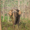 "Somai, usually found with Pang Tong, Lom and Mee Chok, sometimes wanders off on his own. Already an impressive looking elephant, when standing on his own he is an even more striking sight  - Feb 2013<br /> <br /> All print proceeds go to BLES, who care for all these rescued elephants.<br />  <a href=""http://www.blesele.org"">http://www.blesele.org</a>"
