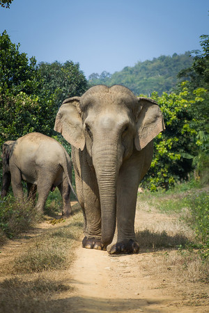 "Wassana on her afternoon walk. - Dec 2013<br /> <br /> All print proceeds go to BLES, who care for all these rescued elephants.<br /> <a href=""http://www.blesele.org"">http://www.blesele.org</a>"
