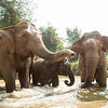 "Pang Tong, Mee Chok and Somai get ready to climb the banks and take a dust bath. It's at bath time here by the river that it really becomes obvious how happy these elephants are - Feb 2013<br /> <br /> All print proceeds go to BLES, who care for all these rescued elephants.<br />  <a href=""http://www.blesele.org"">http://www.blesele.org</a>"