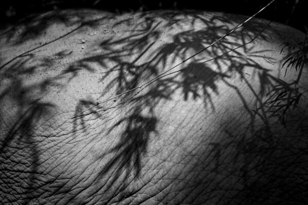 "Shadows from the trees on Wassana's back. Anyone who has visited BLES knows that Wassana's skin is so nice and wrinkly you have to reach out and grab it - Dec 2013<br /> <br /> All print proceeds go to BLES, who care for all these rescued elephants.<br /> <a href=""http://www.blesele.org"">http://www.blesele.org</a>"