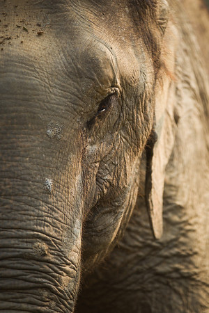 "Pang Dow can be recognised with the distinctive marks on her skin caused by years of stress and mistreatment, but as you can see it makes her no less beautiful - Feb 2013<br /> <br /> All print proceeds go to BLES, who care for all these rescued elephants.<br />  <a href=""http://www.blesele.org"">http://www.blesele.org</a>"