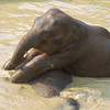 """Although BLES put big toys such as tyres into the lake for the elephants to play with, cheeky Mee Chok, finds that Lom is more fun as a buoyancy aid. Don't worry, Lom can give as good as she gets - Feb 2013<br /> <br /> All print proceeds go to BLES, who care for all these rescued elephants.<br />  <a href=""""http://www.blesele.org"""">http://www.blesele.org</a>"""
