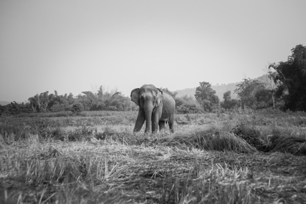 "Pang Suai, usually with her pal Pang Noi, decides to take a quiet moment on her own to roam around and graze on the land - Dec 2013<br /> <br /> All print proceeds go to BLES, who care for all these rescued elephants.<br /> <a href=""http://www.blesele.org"">http://www.blesele.org</a>"