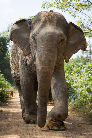 "Pang Dow is recognisable by her skin issues that are the result of many years of mistreatment. Everyone at BLES knows they just make her extra special - Dec 2013<br /> <br /> All print proceeds go to BLES, who care for all these rescued elephants.<br /> <a href=""http://www.blesele.org"">http://www.blesele.org</a>"