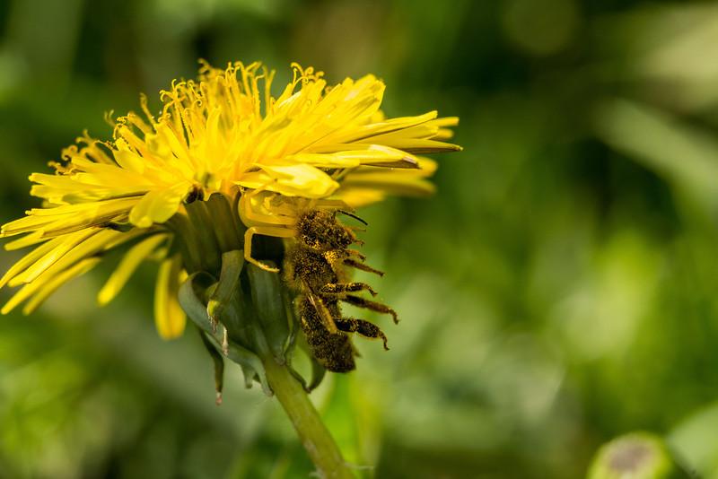 Blomkrabbspindel / Goldenrod crab spider