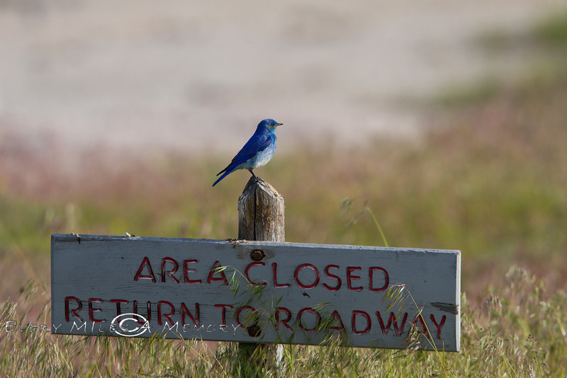 Area Closed except for Blue Birds - Yellowstone National Park