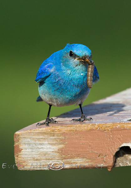 Threatening Little Stance - Blue Bird with a big Grub - Yellowstone National Park