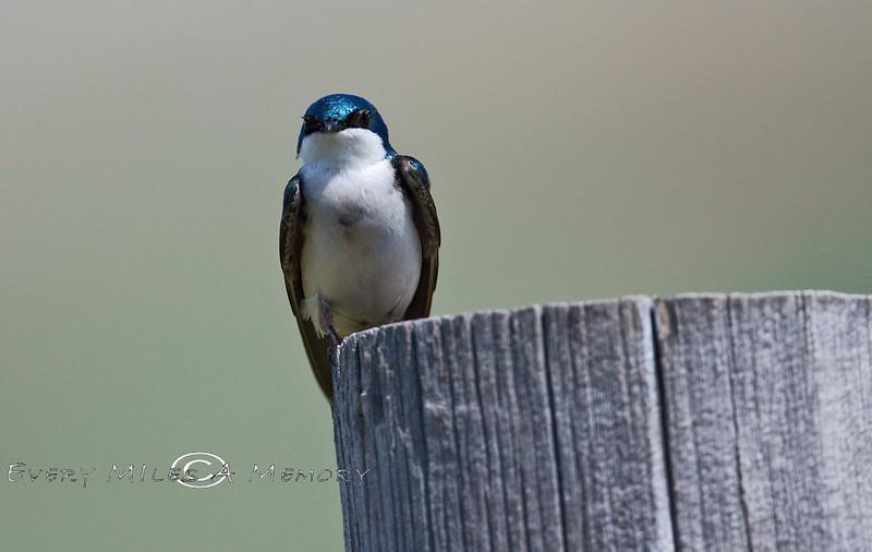 Western Bluebird Sitting atop a Fence Post