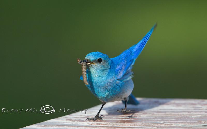 Blue Bird Dancing  a Little Jig - Yellowstone National Park