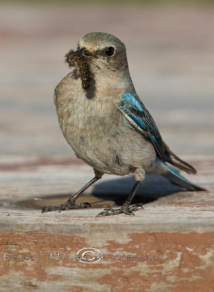 Momma Blue Bird Brining a Grub back to the nest - Yellowstone National Park