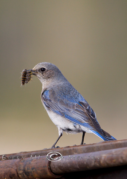 Female Blue Bird with a Grub in her Beak - Yellowstone National Park