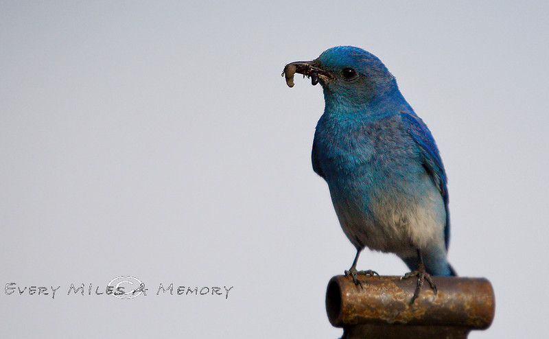 A Grub and an Ant in his Beak - Blue Bird in Yellowstone National Park