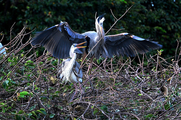 Blue Heron Mating Season