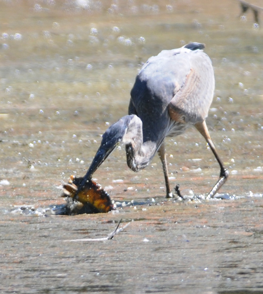 Great Blue Heron, Turtle Log