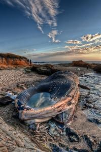 blue Whale at Bean Hollow 4