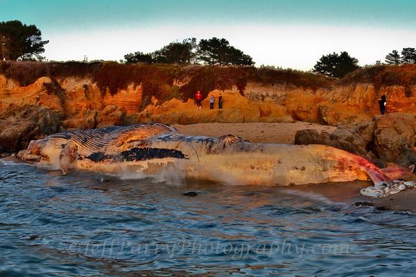 Blue Whale at Bean Hollow 7