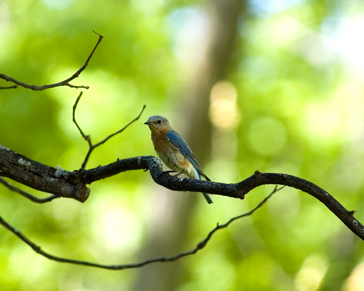 Female Eastern Bluebird, Lancaster, MA