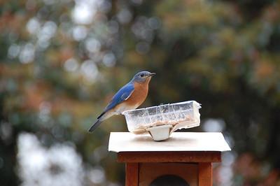 Bluebirds in Raleigh