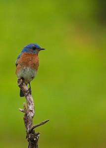 A bluebird standard issue pose