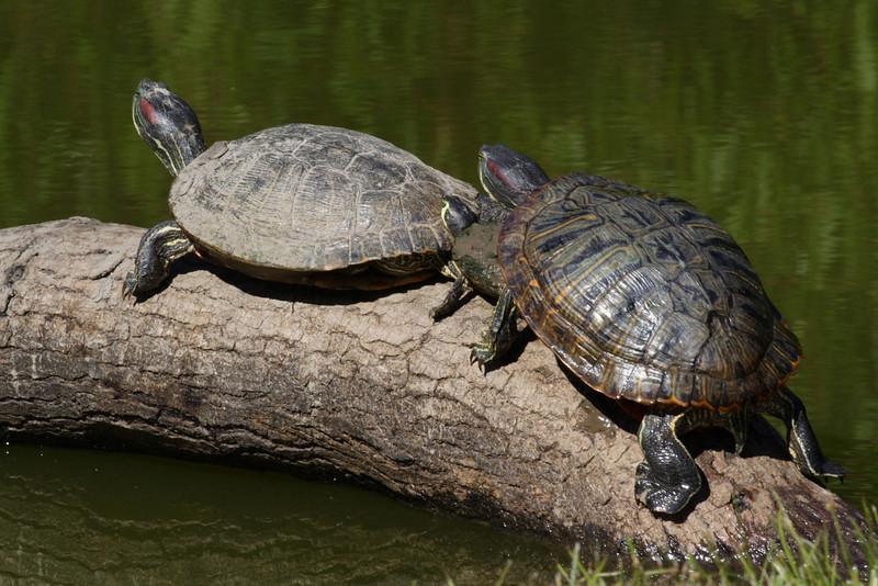 Red-Eared Slider Turtles