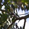 Unknown warbler species