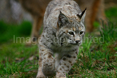 Female Bobcat Strolling around