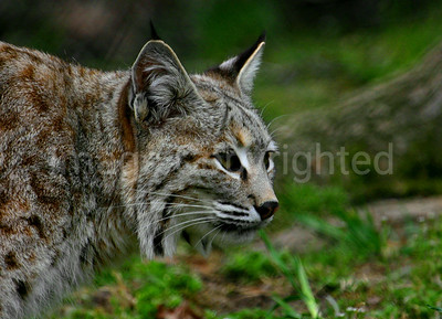 Female Bobcat upclose