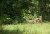 08-29-2009 - Bobcat cubs