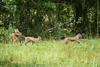 08-29-2009 - Bobcat family