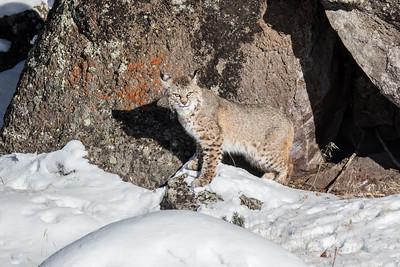 Bobcat in Yellowstone