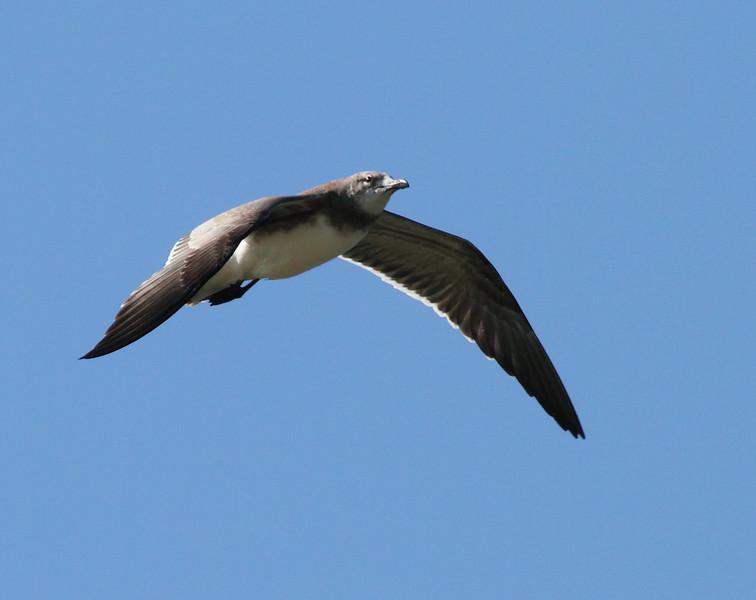 ? Immature Laughing Gull?