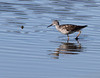 Lesser? Yellowlegs