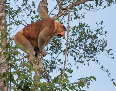 Proboscis Monkey, Alpha male scolding