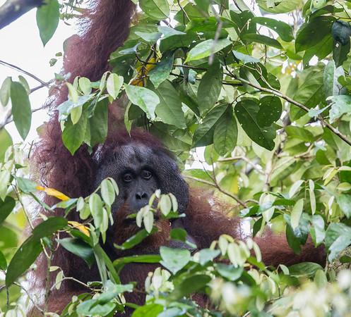 Orangutan, male ~45 yrs of age