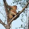 Proboscis Monkey, Alpha male