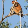 Proboscis Monkey, male