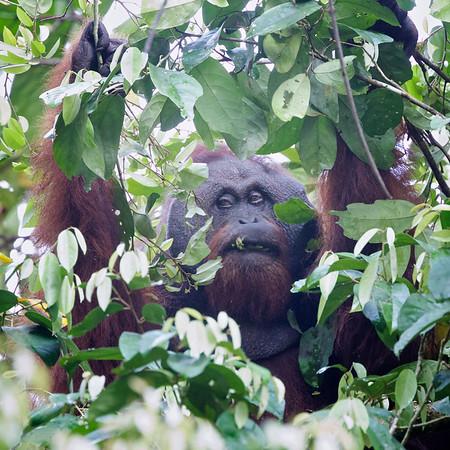 Orangutan, Old male