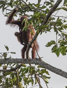 Orangutan Female and little one