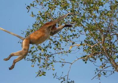 Proboscis Monkey, leaping between trees