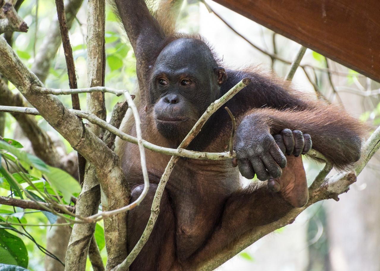 Orangutan, Sepilok Orangutan Sanctuary, Borneo