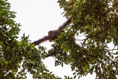 Orangutan, Danum Valley Conservation Area, Borneo